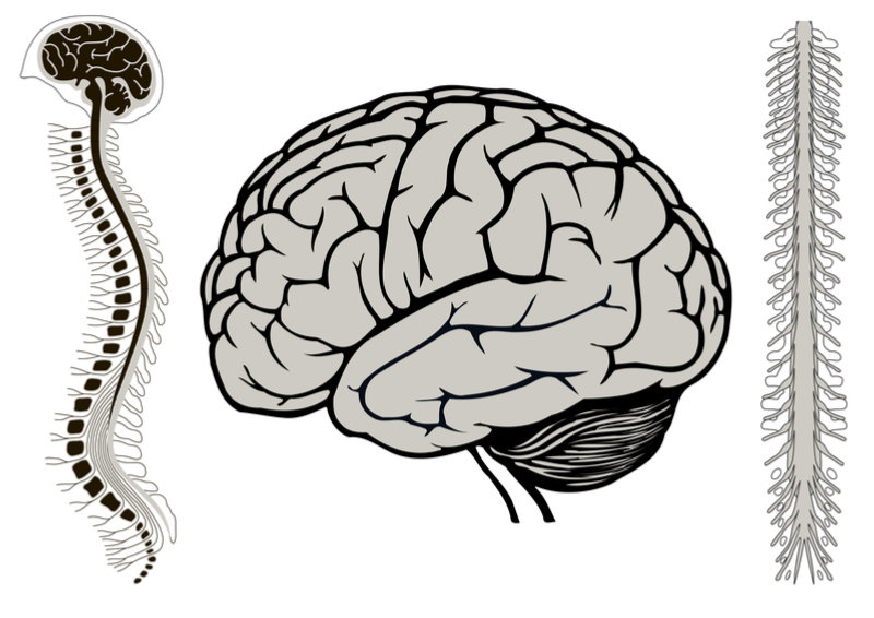 brain_and_spinal_cord