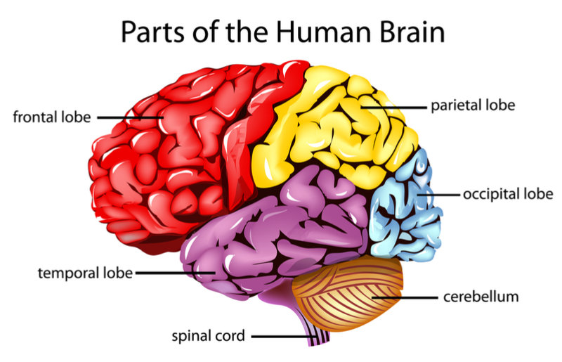 What Are the Major Regions of The Cerebral Hemispheres