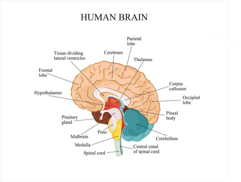 main brain regions