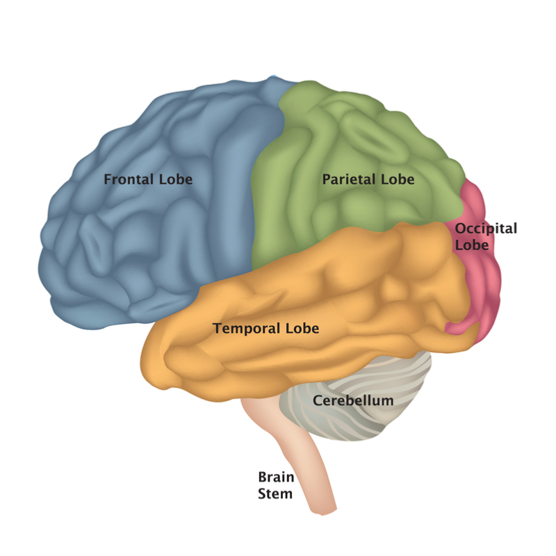 What Is Stem Exactly: Everything You Need To Know About Brain Stem Function