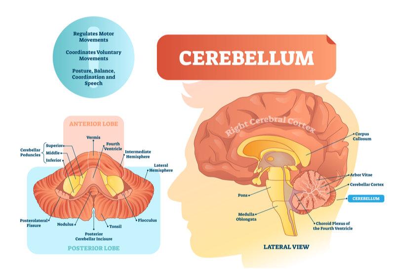 cerebellum_important_functions