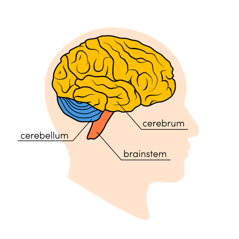 cerebrum_and_cerebellum_illustration