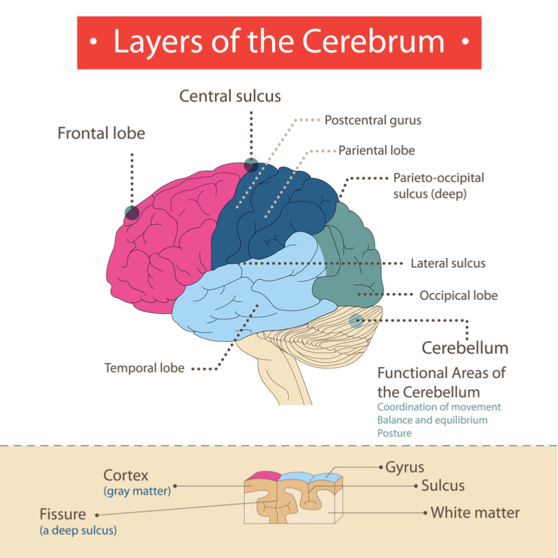 What Is The Cerebrum? The Largest Part Of The Brain ...