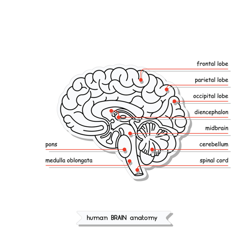 diencephalon_where_brain