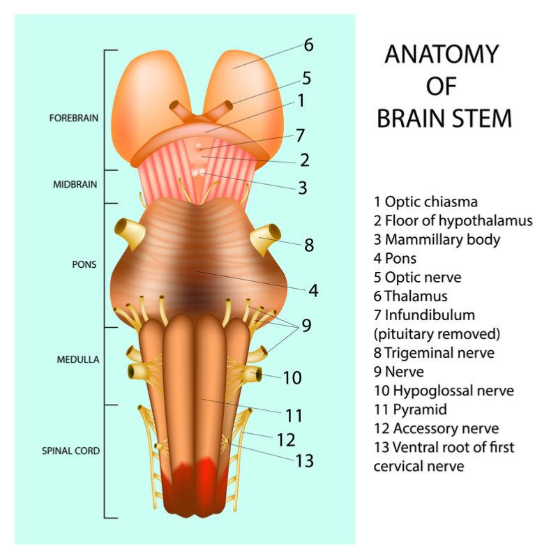 functions_brain_stem