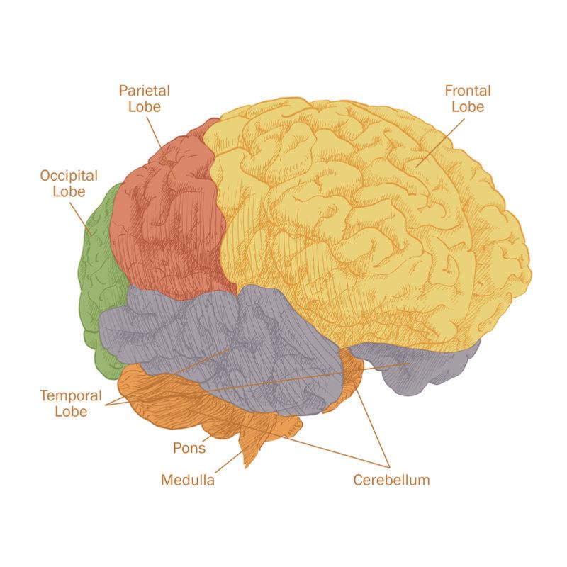 lobes_of_brain