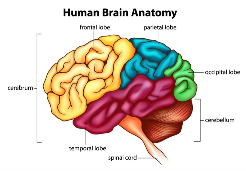 Cerebrum Function: What Are The Roles Of The Main Brain ...