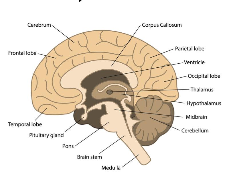main_regions_brain