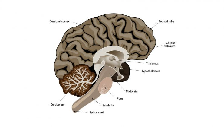 medulla oblongata damage effects