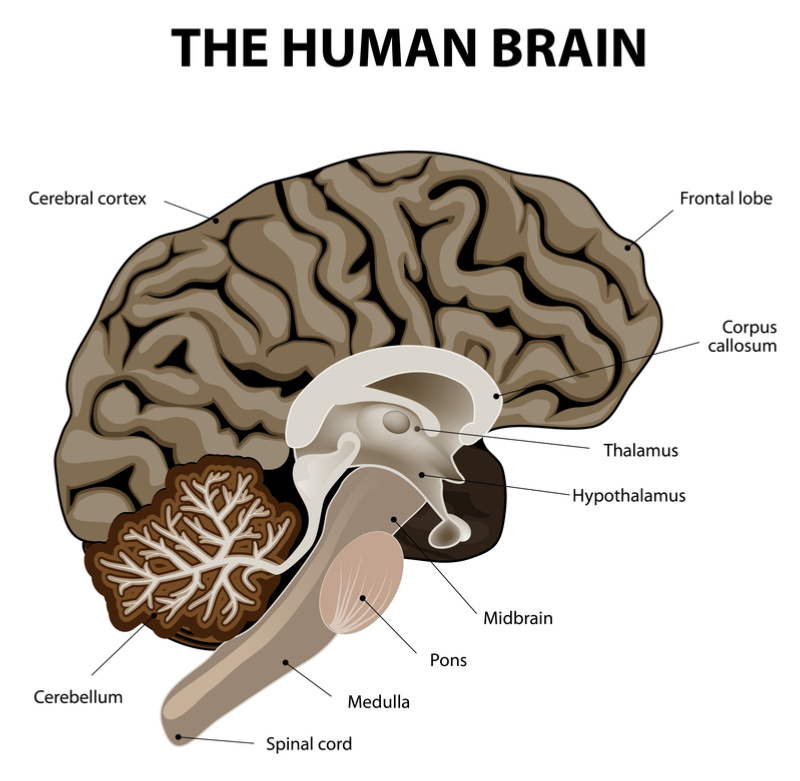 The Medulla Oblongata: Get To Know The Most Vital Part Of ...