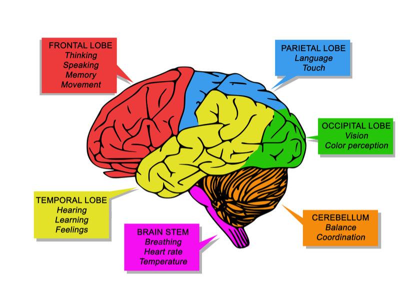 part_of_brain