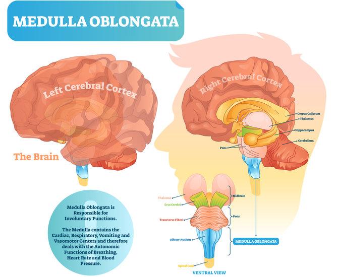 medulla oblongata function