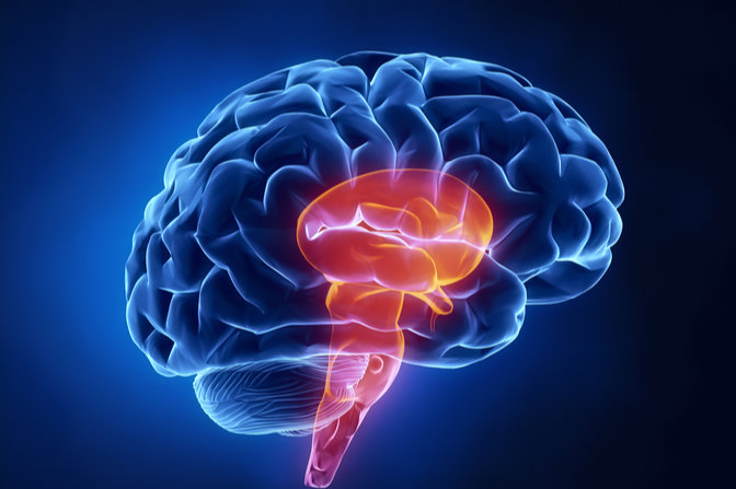 brain stem