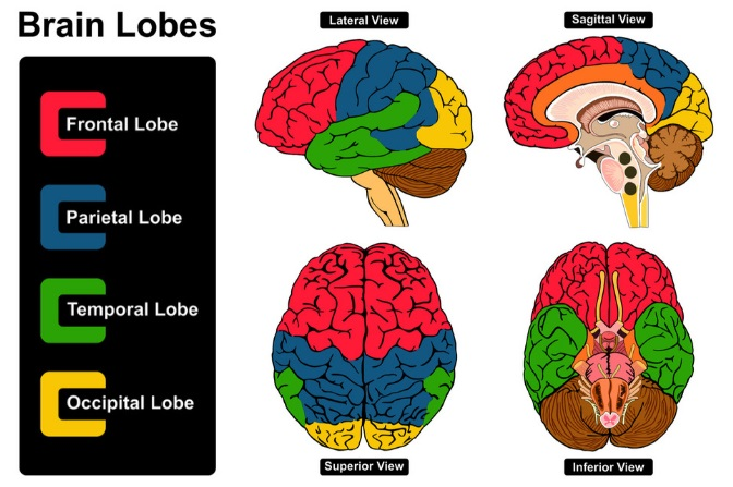 4 Lobes Of The Brain Colored Infograph
