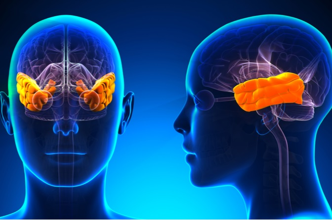 The Temporal Lobe - Your Brain's Fear Factory - Mindvalley ...