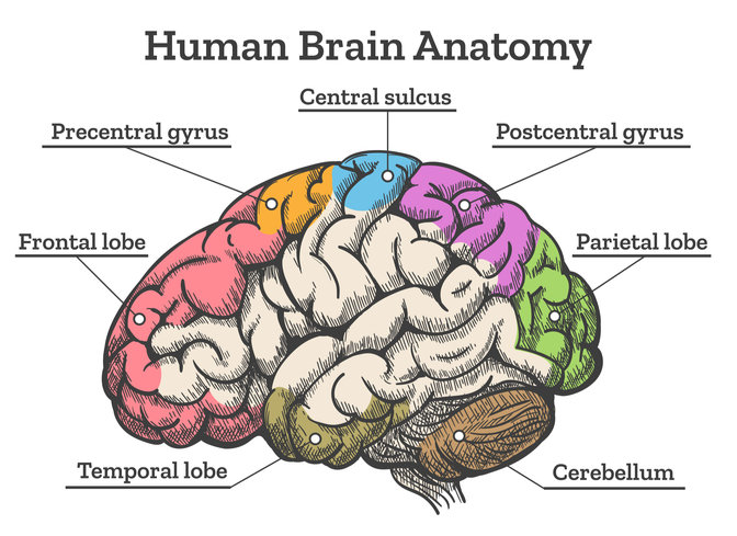 What Is The Largest Part Of The Brain? - Mindvalley Blog