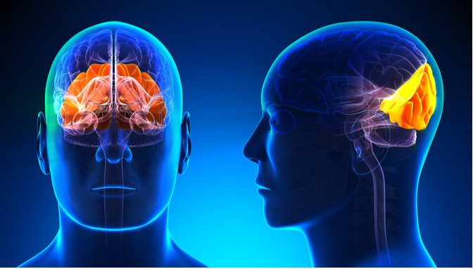 What Is The Occipital Lobe And Why Is It Important To Us ...