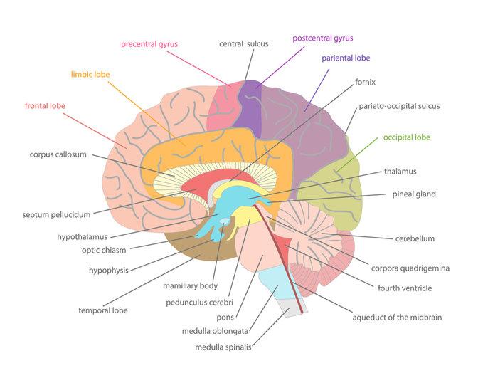 left temporal lobe