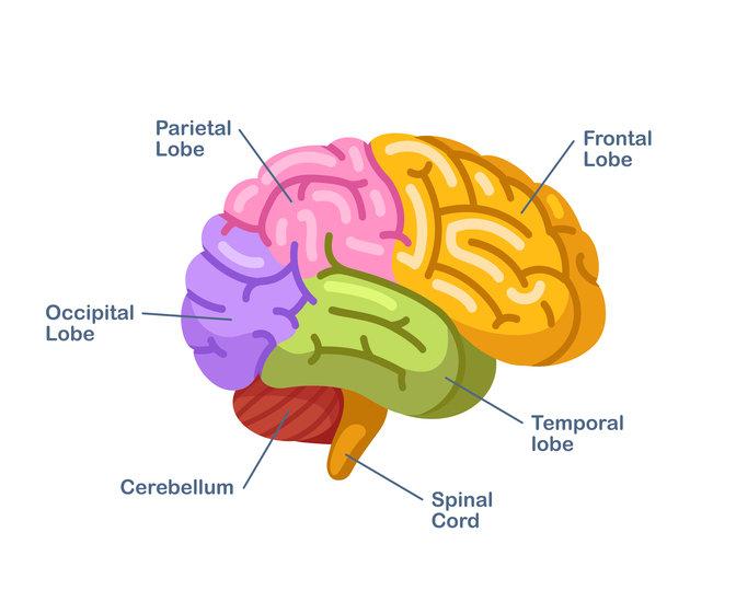 function of occipital lobe